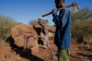 <h5>Elephant Poaching - Killed For Their Tusks</h5><p>Two African men bludgeon an elephant to death and remove it's tusks with an axe.</p>