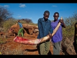 <h5>Elephant Poaching - Killed For Their Tusks</h5><p>Two young African poachers show off an elephant tusk after it was severed from a murdered elephant.</p>