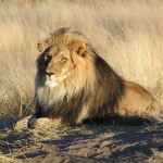 Africa's disappearing lions