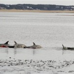Dolphins stranded in Cape Cod