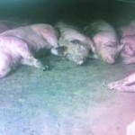 Dogs and pigs dying overnight in china