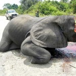 Elephant Poaching – Slaughtered For Their Tusks