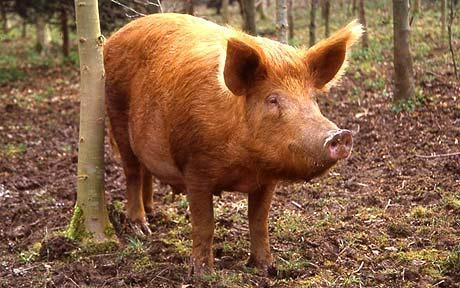 p_woodland-pig1_1488018c