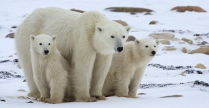 The Effects of Global Warming on Polar Bears