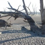 Large Trees – First To Go In Drought