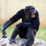 Chimps: Natural-born killers