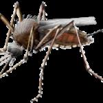Mosquitoes Bring Chikungunya To The U.S.
