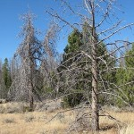 Evergreen Trees at risk in Southwest U.S.