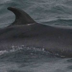 """Japan to hunt 950 whales for """"scientific research"""""""