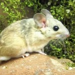 Warming dulls US rats' taste for toxins