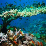 Warming oceans killing coral reefs
