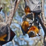 Warming adds to pressure on bats