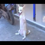 Two-legged dog becomes town celebrity
