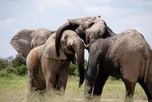 How elephants defy getting cancer