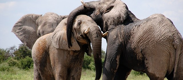 How elephants defy getting cancer