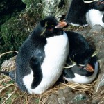 Climate risk to inflexible penguins' chicks