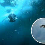 Penguin cams film hunt for food under Antarctic ice
