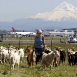 Oregon city fires its grounds-keeping goats due to 'barnyard aroma'