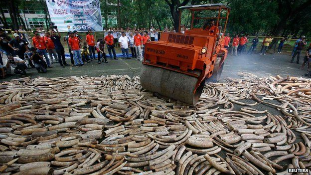 Elephant Poaching - Destroying Elephant Tusks