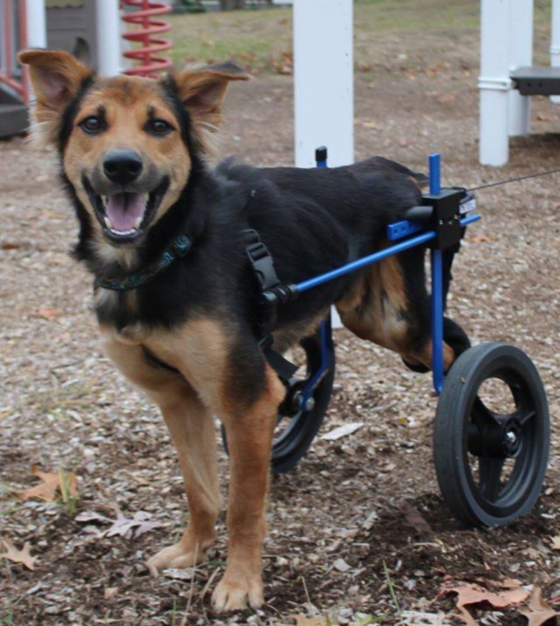 Paralyzed Pup Able To Walk Again With Help of Canine Wheelchair