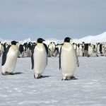 Why Did The Worlds 2nd Largest Emperor Penguin Colony Disappear?
