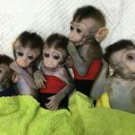 MCPH1 Human Brain Gene & Monkeys – China