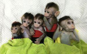 Human brain MCPH1 gene cloned into baby monkeys