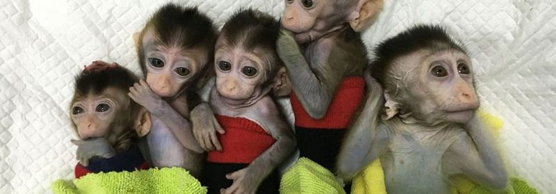 Human brain MCPH1 gene cloned into baby monkeys