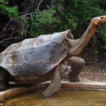 100-year-old Giant Tortoise Rebuilds Tortoise Pop