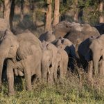 African Elephants are Being Born Without Tusks