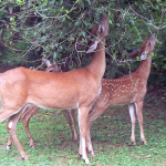CAN TREES DEFEND THEMSELVES AGAINST DEER?