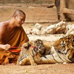 Famed Tiger Temple Monks Abusing Tigers
