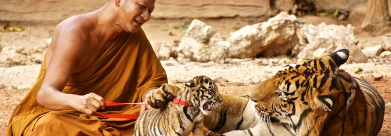 Famed 'Tiger Temple' Monks Abusing Tigers