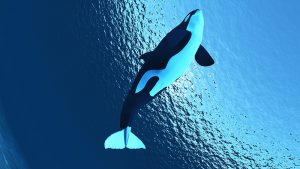 Killer whales under threat of extinction from toxic ocean chemicals