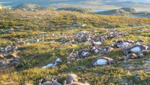 Lightning Blamed for Reindeer Death