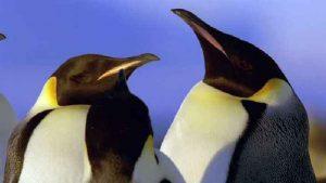 The Evolution of Giant Prehistoric Penguins