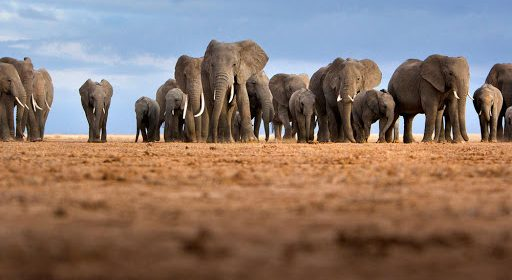 African Elephants Declining in Numbers