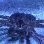 King Crabs Are Invading Antarctica